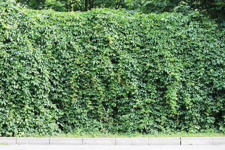 Solid Wall densely overgrown with green ivy Hedera