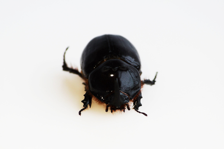 A rhinoceros beetle Oryctes nasicornis runs on a white background. Isolated.