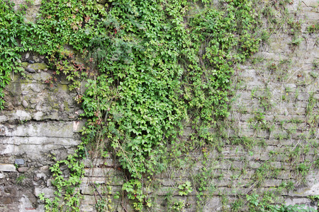 Wall densely overgrown with green ivy Hedera