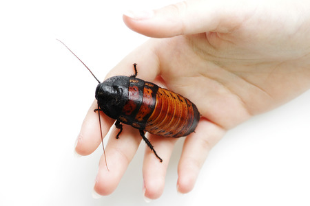 Madagascar hissing cockroach Gromphadorhina portentosa are sitting on hand of girl Stock Photo