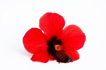 Madagascar hissing cockroach Gromphadorhina portentosa and red flower Hibiscus on a white background.Isolated
