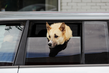 dog of Laika breed looks out of the half-open window of the car in anticipation of the owner