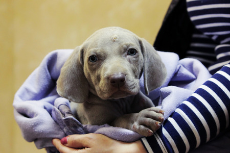 a weimaraner puppy with blue eyes. dermatological problems of allergic nature. epidermal cutaneous suppuration due to pyoderma of purulent inflammation as a secondary lesion. Staphylococcus intermedius