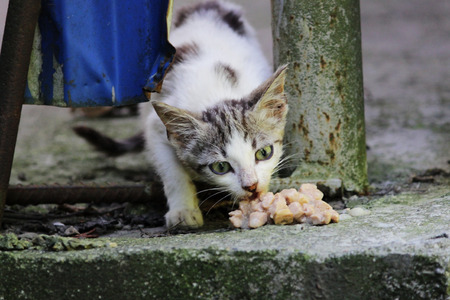 homeless exhausted kitten eats feed on the street.