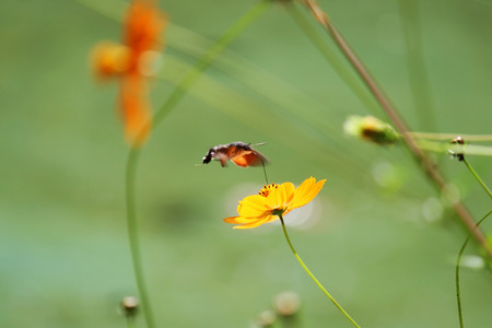 Sphingidae, known as bee Hawk-moth, enjoying the nectar of a orange flower. Hummingbird moth. Calibri moth