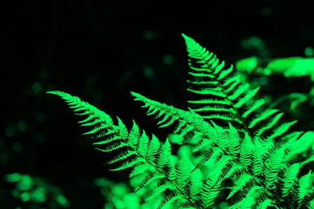 leaves of fern Polypodiophyta in a yew-boxwood forest. Krasnodar region. computer processing.