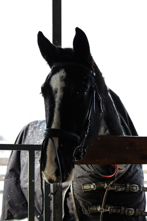 A vertical photograph of a mares head with a bridle that stands outdoor 版權商用圖片