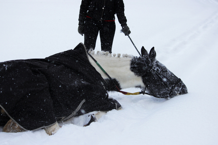 piebald mare in the fresh air in winter while walking through the forest. bathes in the snow. a demonstration of the proverb that embodies that the work has not yet begun: the horse did not wallow. 写真素材