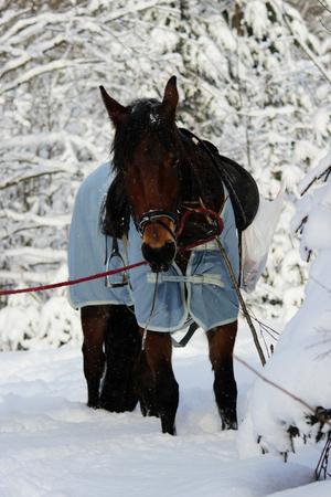 Photo verticale d'un cheval alezan dans une forêt d'hiver. dans une étamine, avec une bride et une selle. Banque d'images - 95376009