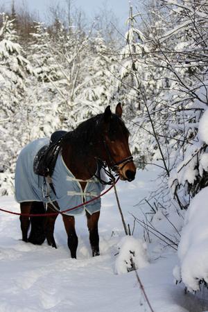 Photo verticale d'un cheval alezan dans une forêt d'hiver. dans une étamine, avec une bride et une selle. Banque d'images - 95402968