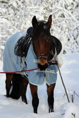 vertical photo of a chestnut horse in a winter forest. in a horsecloth, with a bridle and a saddle.