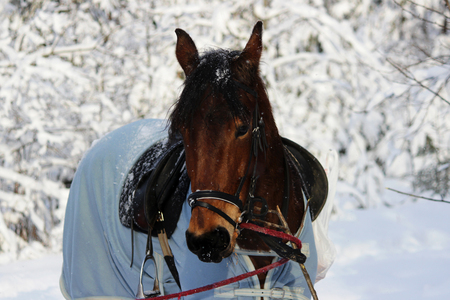 chestnut horse in a winter forest. in a horsecloth, with a bridle and a saddle.