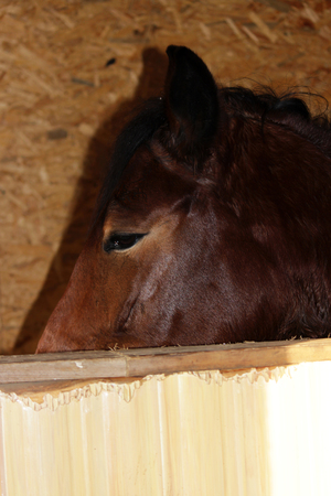 young mare of red color hair on his forehead stands in a enclosure indoor