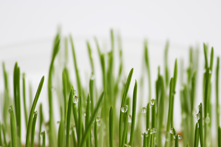 young sprouts of oats sprouted for cats in the winter to improve digestion and as a source of vitamins and enzymes. green grass with drops of dew Banco de Imagens