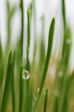 young sprouts of oats sprouted for cats in the winter to improve digestion and as a source of vitamins and enzymes. green grass with drops of dew Stock Photo