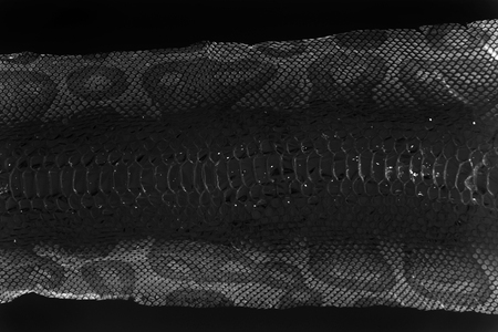 jacket cast-off skin of snake Royal Python on a white background. computer processing, inversion. Фото со стока
