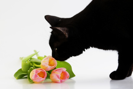 three pink orange tulips and a black cat that smells them on a white background.