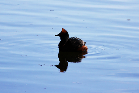 duck with red heads on his head Horned Slavonian grebe Podiceps auritus
