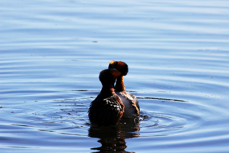 duck with red heads on his head Horned Slavonian grebe Podiceps auritus. marital games and dances of male and female Stock Photo - 101282073