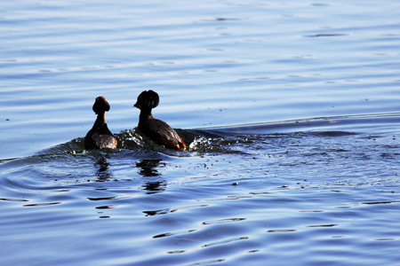 duck with red heads on his head Horned Slavonian grebe Podiceps auritus. marital games and dances of male and female