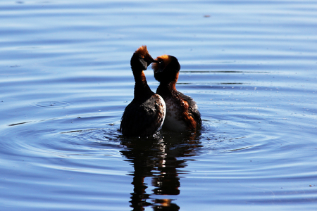 duck with red heads on his head Horned Slavonian grebe Podiceps auritus. marital games and dances of male and female. Gatchina White Lake Banco de Imagens