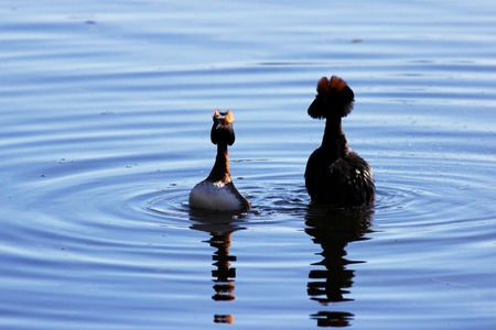 duck with red heads on his head Horned Slavonian grebe Podiceps auritus. marital games and dances of male and female. Gatchina White Lake Stock Photo