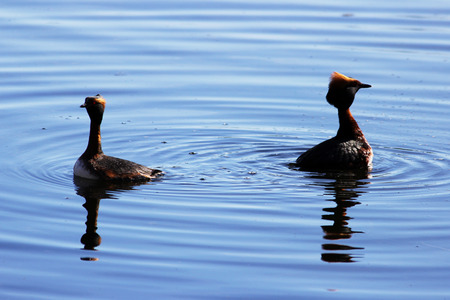 duck with red heads on his head Horned Slavonian grebe Podiceps auritus. marital games and dances of male and female. Gatchina White Lake Stock Photo - 101314507