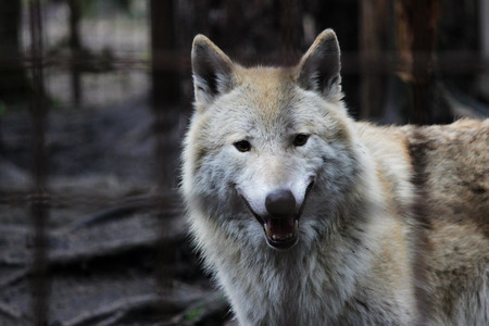 Polar wolf behind bars, summer color Canis lupus tundrarum. Breeding Kennel for wolves and wolf-dog hybrid. Wolf in a large enclosure with bars.