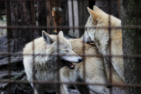 Polar wolf behind bars, summer color Canis lupus tundrarum. Breeding Kennel for wolves and wolf-dog hybrid. Wolf in a large enclosure with bars. Two brothers are playing. Stock Photo