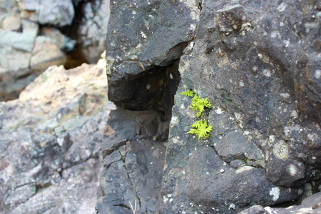 Small leaves of the fern break through the stones in the place of the extinct volcano Girvas. Karelia, Russia. concept of life and perseverance. Archivio Fotografico