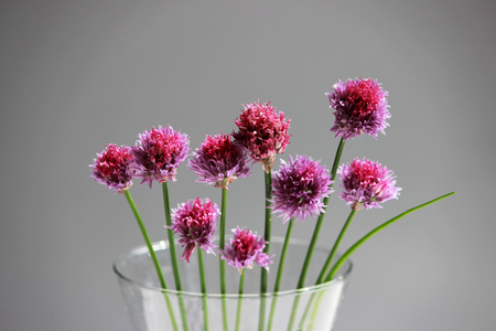 A few twigs of wild chives onion Allium schoenoprasum in a glass vase on a gray background Stok Fotoğraf