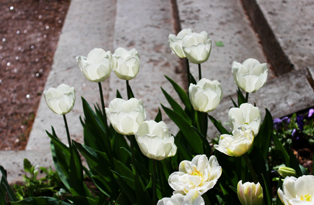 several white tulips grow on the flower bed next to the stone steps in the general ensemble of the well-appointed Gatchina park. Russia