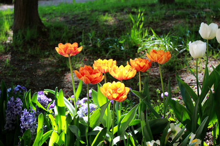 several orange multilobed tulips grow on the flower bed in the general ensemble of the well-appointed Gatchina park. Russia 写真素材