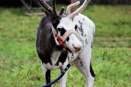 a circus reindeer Rangifer tarandus in a red bridle is tied next to a tent of a wandering circus set on a wasteland.
