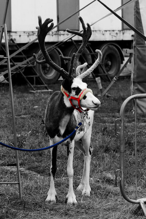 a circus reindeer Rangifer tarandus in a red bridle is tied next to a tent of a wandering circus set on a wasteland. Black and white, vertical. Фото со стока