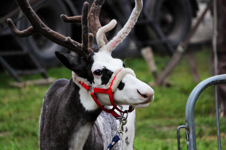 a circus reindeer Rangifer tarandus in a red bridle is tied next to a tent of a wandering circus set on a wasteland