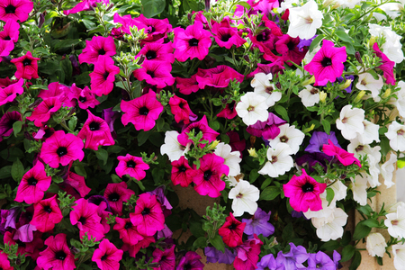 Mixed petunia flowers. Petunias in Floral Detail Background Image. Beautiful petunia flower wallpaper. Multicolored petunias grow in a box in the square in front of the Gatchina Palace.