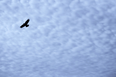 Light white cirrus clouds covering the large surface of the sky and a bird crow.