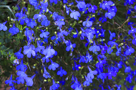 Blue Trailing Lobelia Sapphire flowers. Its Latin name is Lobelia Erinus Sapphire. Also called Edging Lobelia, Garden Lobelia. Stock Photo