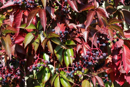 dark blue berries and colorful leaves of Parthenocissus quinquefolia - Virginia creeper, Victoria creeper, five-leaved ivy, or five-finger in the autumn