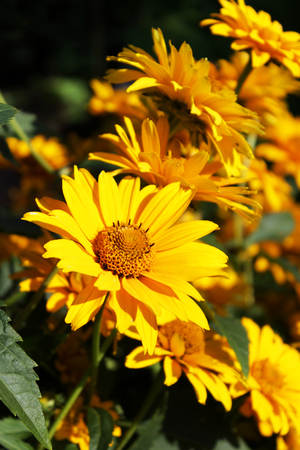 several bright yellow flowers Heliopsis in the fall on a flower bed Reklamní fotografie