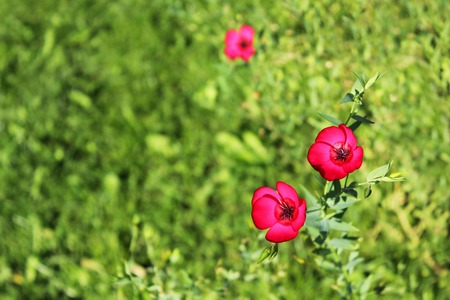 Pink small flowers of the plant Decorative flax Linum grandiflorum.