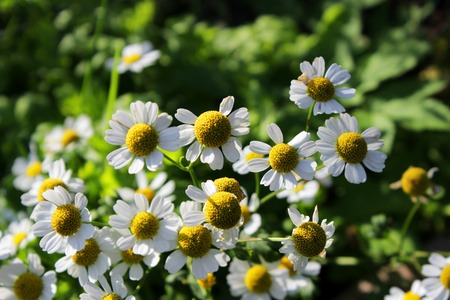 Matricaria chamomilla, Matricaria recutita, commonly known as chamomile grows in the dacha. Leningrad region, Russia