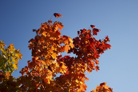 red, orange and yellow leaves on the branches of maple against a blue cloudless autumn sky