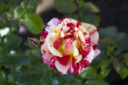 motley red rose with white veins on a flower bed of a summer cottage, grows in the open air in the autumn. Stock Photo