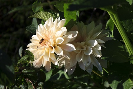 two beige dahlia and bee in autumn. Stock Photo