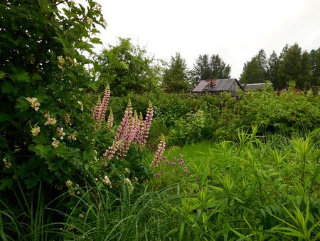 Panorama of an empty suburban area - flowering viburnum bushes, purple lupine and wooden houses in the distance. Russia