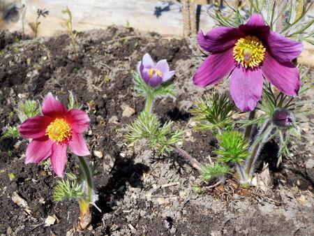Pulsatilla pratensis small pasque flower is a species of the genus Pulsatilla. Postrelrel
