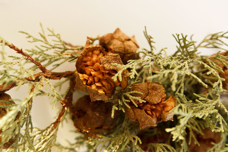 dried juniper branch with blossomed fruit cones on a white background. Symbol of protection and innocence of the bride