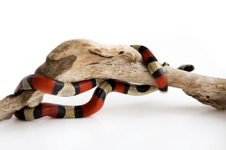 Young Scarlet kingsnake Lampropeltis elapsoides on a wooden curved snag. Nonpoisonous snake with a three colored, which characterizes mimicry. on a white background.